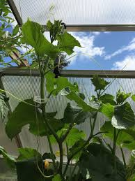 greenhouse growing cucumbers u0026 using the palram trellising kit