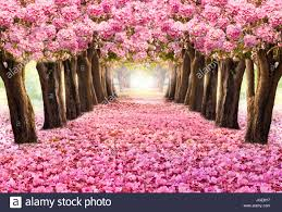 the romantic tunnel of pink flower trees blossom blooming in