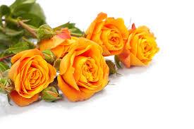 orange roses orange roses because i care cabbage roses