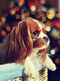 618 best cavalier king charles spaniel images on