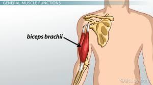 biceps brachii origin function lesson