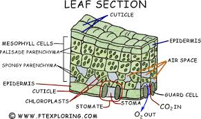 Where Do The Light Independent Reactions Occur Exploring Photosynthesis In A Leaf Chloroplasts Grana Stroma