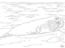 elephant seal on the shore coloring page free download animal