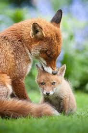 best 25 pet fox ideas on pinterest cute fox foxes and baby foxes
