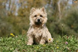 cairn hair cuts grooming and caring for the cairn terrier pets4homes