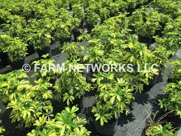 arboricola trinette south florida hedge plants 786 255 2832