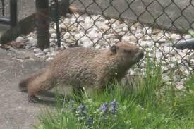 groundhog southern ontario