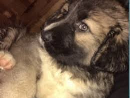 belgian sheepdog puppies for sale uk caucasian shepherd dog dogs and puppies for sale in the uk