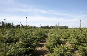 hybrid matters investigations the condition u2013 cloned christmas trees