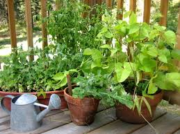 15 ideal vegetables that grow well in a pot or container the