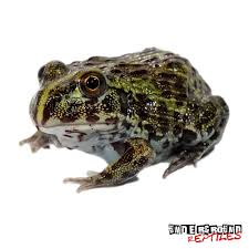 baby giant pixie frogs for sale underground reptiles