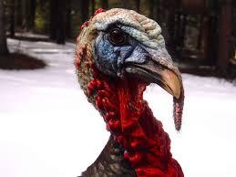 turkey up turkeys take santa rosa san francisco chronicle