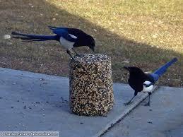 Magpie Birds In Backyards Wesley U0027s Backyard Birds Black Billed Magpie