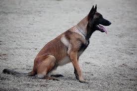 belgian sheepdog breeders in canada belgian malinois breeder oklahoma