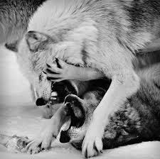 black and white wolf wolves my wolves wolf wolves