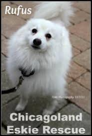 american eskimo dog rescue illinois the 39 best images about chicagoland eskie rescue on pinterest