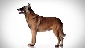 belgian shepherd how much belgian malinois dog breed selector animal planet