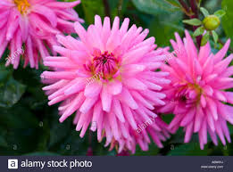 dahlias flowers dahlia piper s pink semi cactus dahlias flowers cactus dahlia
