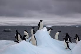 file adelie penguins on iceberg jpg wikipedia