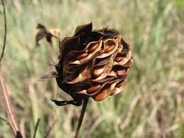 native oklahoma plants prairie bundleflower oklahoma native plants pinterest plants