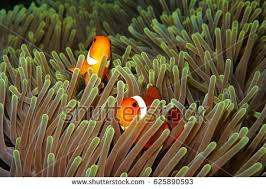 nemo fish stock images royalty free images u0026 vectors shutterstock