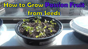native plants passionflower vine grows growing passion fruit from seeds passiflora edulis youtube