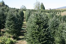 choose and cut christmas tree farm near winston salem north