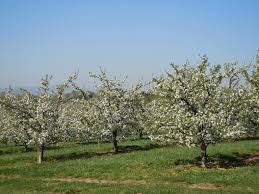 timing of apple tree bloom extension