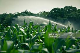 irrigated corn irrigated corn field stock photo getty images