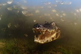 crocodile wallpapers 4usky com