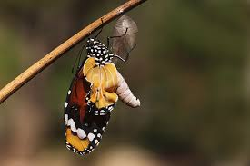 swallowtail butterfly emerging from cocoon photograph by alon meir