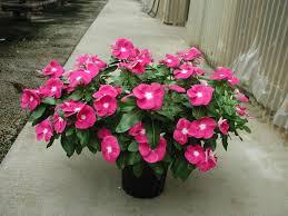 vinca flowers plantanswers plant answers disease resistant annual vinca