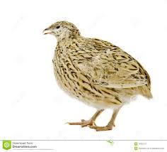 quail bird male