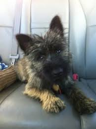 cairn hair cuts like our new haircuts cairn terriers pinterest haircuts