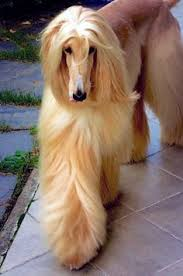 afghan hound breed one of the most graceful and elegant dog breeds of all times is an