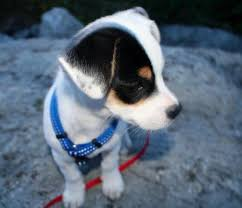 australian shepherd jack russell mix size toby the jack russell terrier mix puppies daily puppy