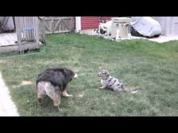 australian shepherd catahoula mix katie the catahoula aussie mix puppy youtube