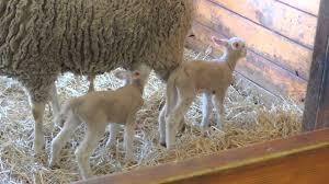 baby sheep lamb nursing from mother ewe youtube