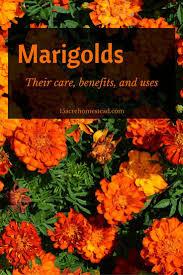 best 25 marigolds in garden ideas on pinterest plants that