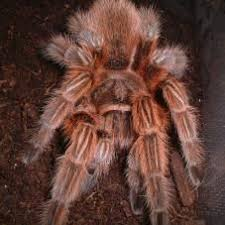 42 best tarantulas images on spiders pet tarantula