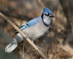 South Dakota birds images Blue jay south dakota birds and birding jpg