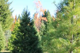 windstorm christmas tree