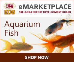 ornamental fish industry in sri lanka freshwater aquarium fish