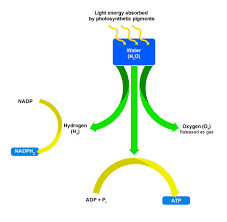 Where Do The Light Independent Reactions Occur Bbc Higher Bitesize Biology Photosynthesis Revision Page2