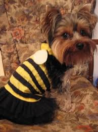 Yorkie Halloween Costumes 132 Puppy Clothing Images Animals Puppies