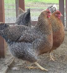Backyard Chickens 101 by A Bielefelder Thread Page 101 Backyard Chickens