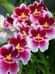 orchid flowers miltoniopsis the pansy orchid more gardening horticulture