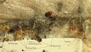 bed bug sheddings bedbugpicture 01l jpg