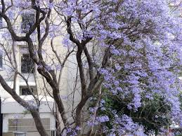 tree with purple flowers a big tree with purple light flowers in front of a building stock