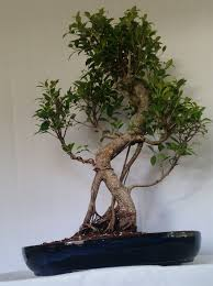large ficus bonsai old indoor bonsai tree